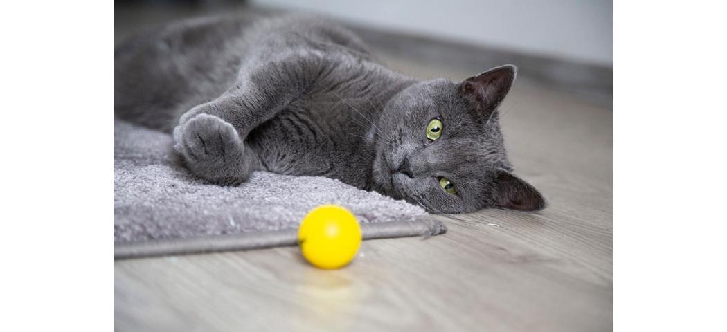 Jak wyczyścić dywan z sierści kota?